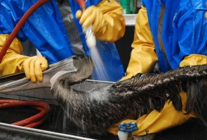 شستشوی یک پلیکان نفتی شده در آلودگی نفتی خلیج مکزیک (لوییزیانای آمریکا)