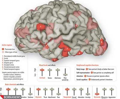 عکس: مغز انسان عاشق!