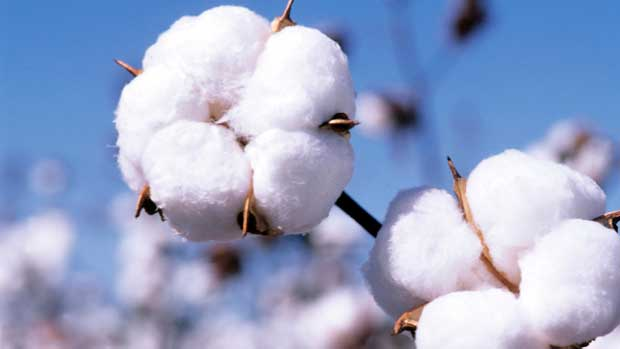 پنبه cotton