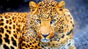 تعبیر خواب پلنگ leopard