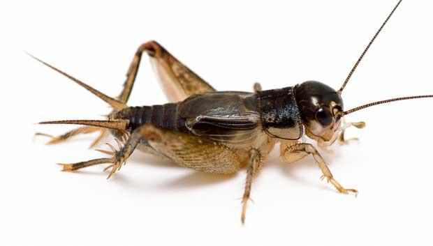 جیرجیرک Cricket
