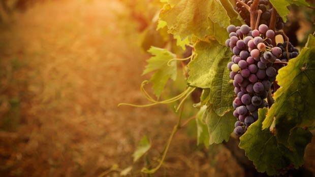 grapevine-grape