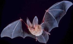 خفاش Bat