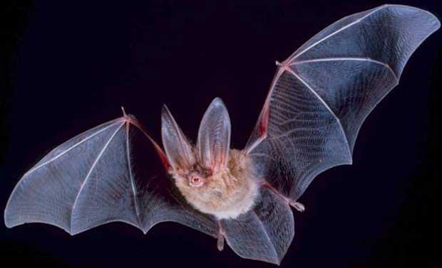 تعبیر خواب خفاش