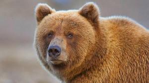 خرس Bear