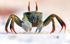 خرچنگ Crab
