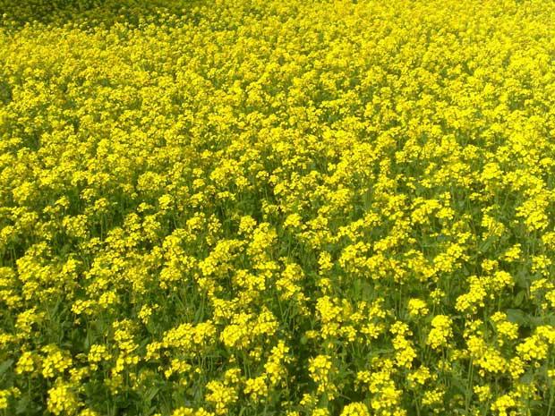 گیاه خردل Mustard