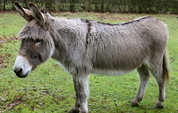 خر donkey