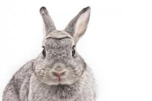 خرگوش rabit