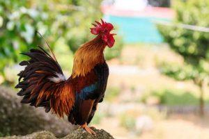خروس rooster