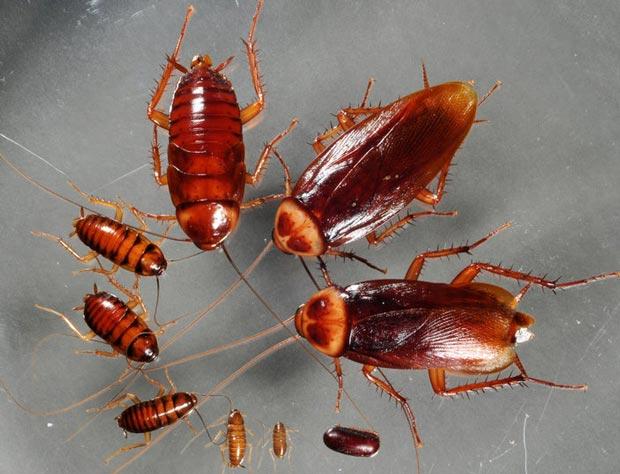 سوسک Beetle