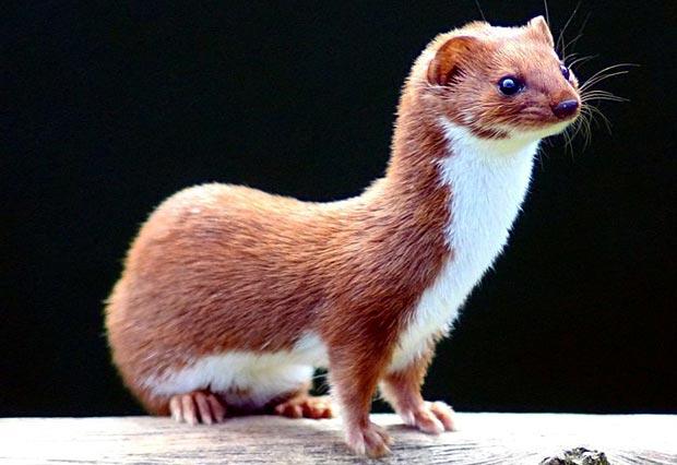 راسو Weasel