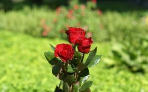 رز قرمز rose