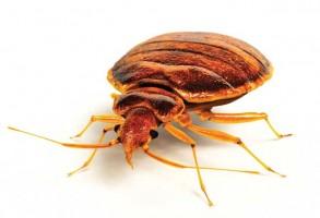 ساس Bedbug