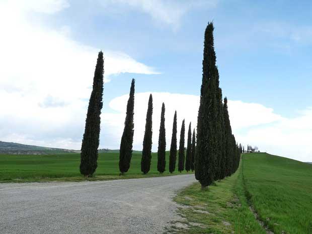 سرو Cypress