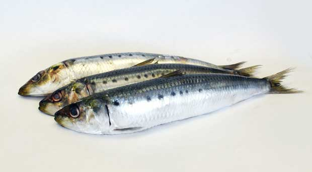 ماهی ساردین Sardine