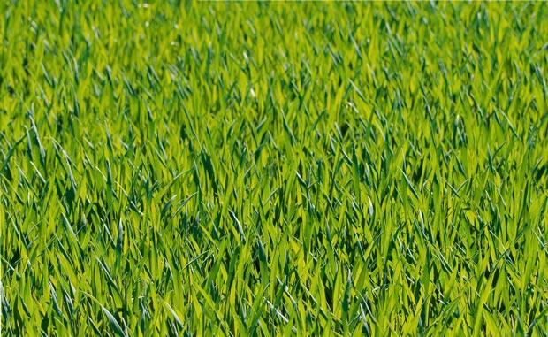 سبزه grass