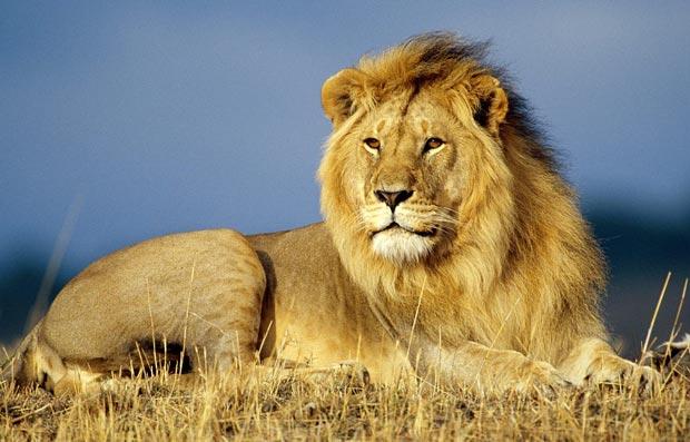 شیر lion