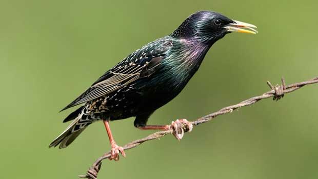 سار starling