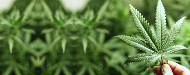 شاهدانه Cannabis