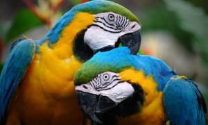 طوطی parrots