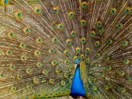 طاووس Peacock
