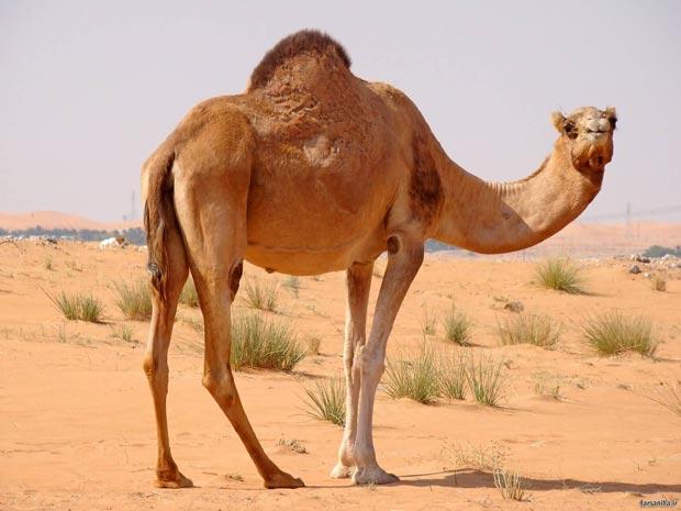 شتر camel