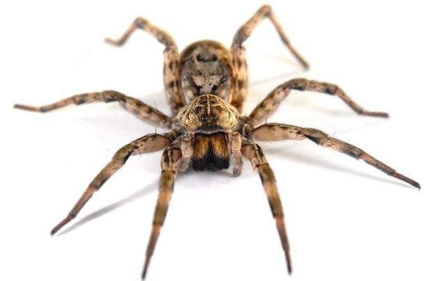عنکبوت spider