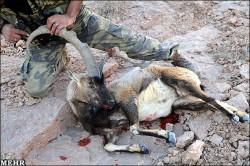 تصاویر تاسف بار از شکار کل و بز در یزد