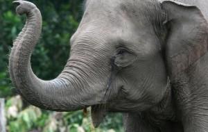فیل elephants