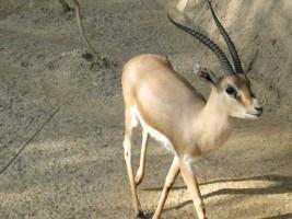 غزال gazelle