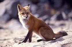 لانه روباه را در کجا می توان یافت؟