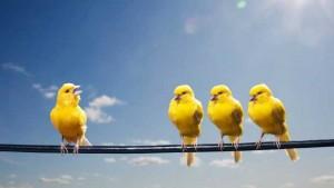 قناری Canary