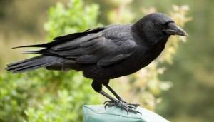 کلاغ crow
