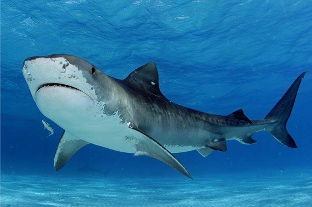 کوسه shark