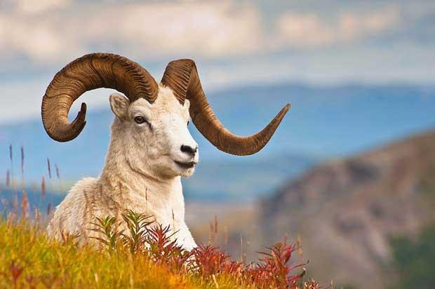 قوچ sheep-ram