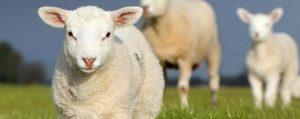 قربانی کردن sheep-sacrifice