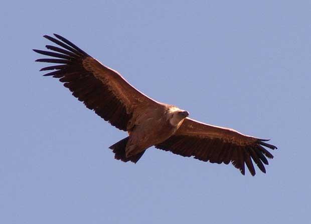 کرکس Vulture