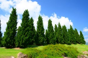 کاج cedar-pine