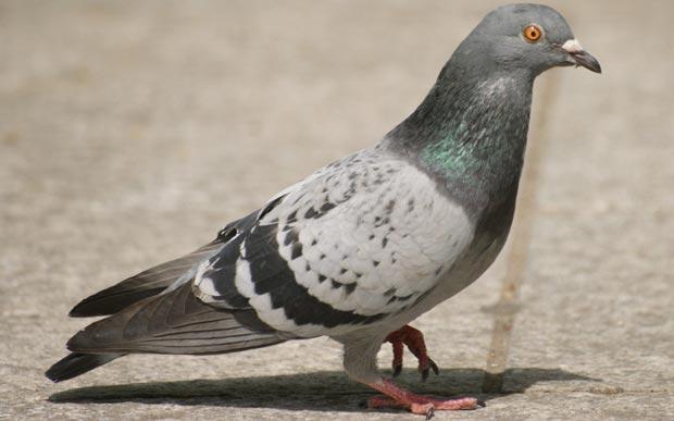 کبوتر pigeon