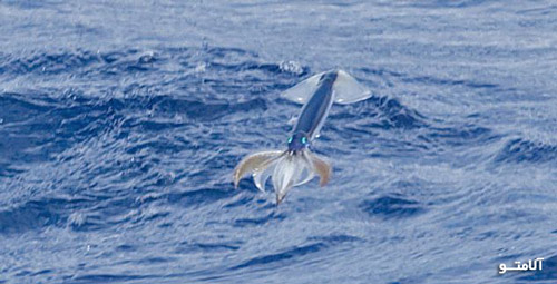 Flying-squid