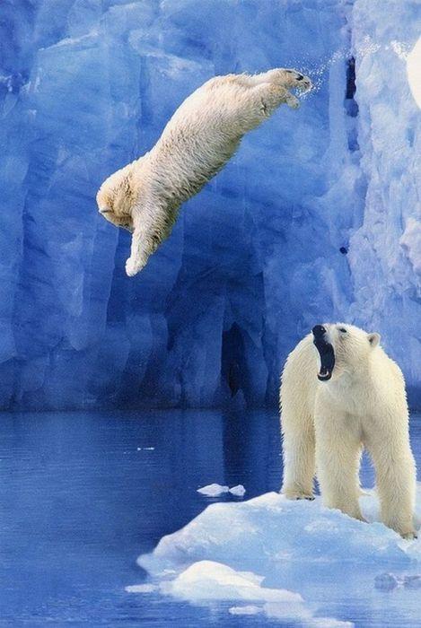 عکس خرس قطبی