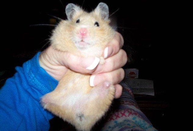 همستر بدون دست و پا + عکس