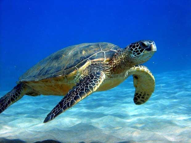 لاک پشت sea_turtle