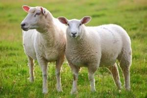 گوسفند sheep