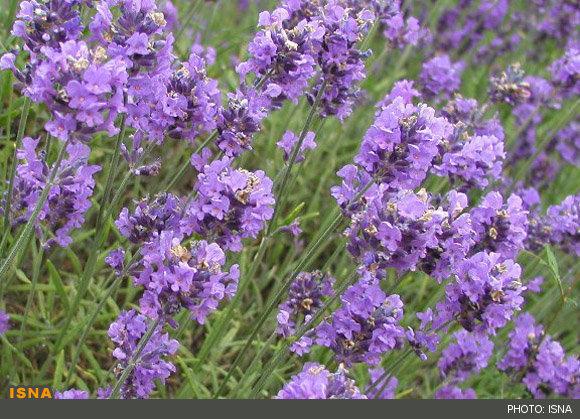 خواص گل اسطوخودوس