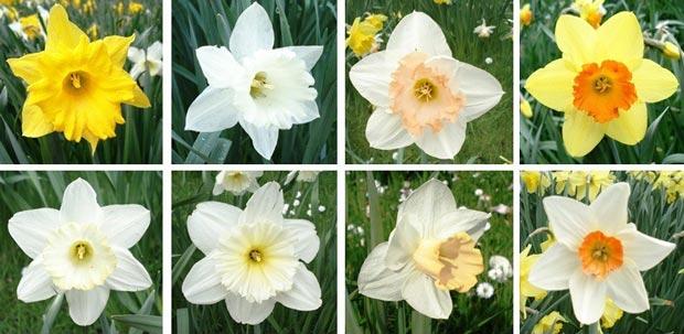نرگس Narcissus
