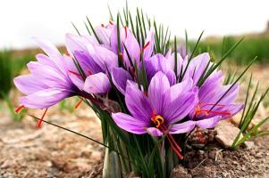 تعبیر خواب گل زعفران