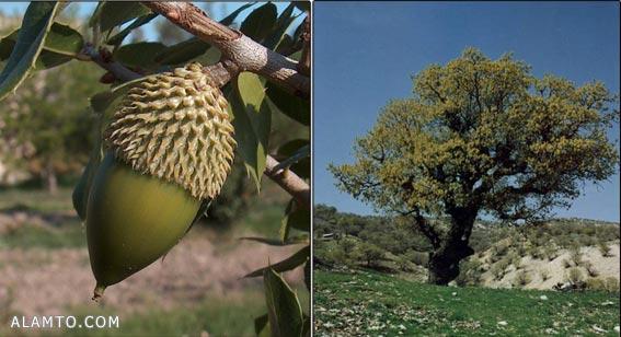 عکس میوه بلوط - عکس درخت بلوط