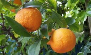نارنج bitter-orange
